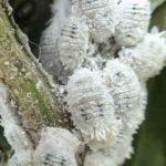 Cochinilla algodonosa